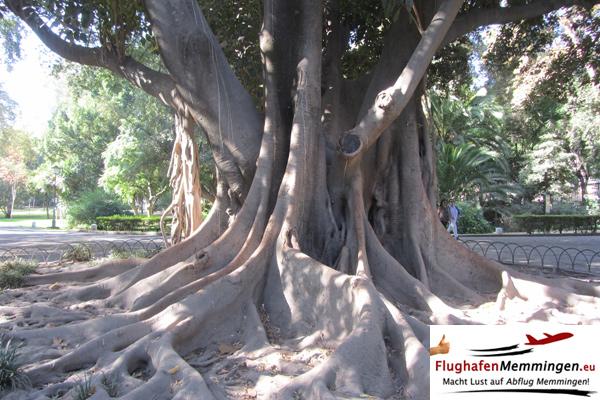 Sevilla ab Memmingen - Lianenbaum